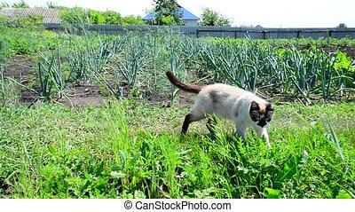 Siamese cat walks around kitchen garden - Siamese cat walks...