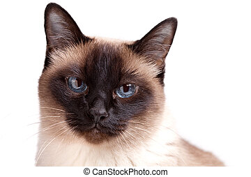 Siamese cat with blue eyes looks in camera