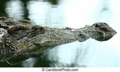 Siamese Crocodile eye