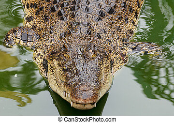 Siamese crocodile in water - Big siamese crocodile in water
