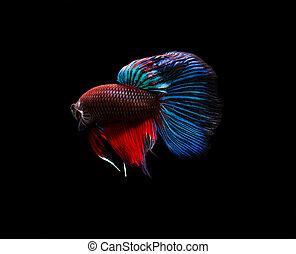 Siamese fighting fish (Betta splendens) isolated on black background.