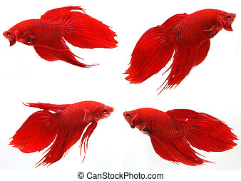 Siamese fighting fish ( Betta Splendens ), isolated on white background