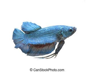 Siamese fighting fish isolated on the white background