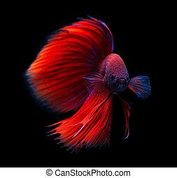 siamese het vechten vissen, vrijstaand, op, black ,...