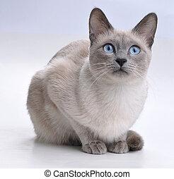 siamese kat, het kijken, nieuwsgierig