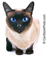 siamese kat, vrijstaand, op, de, witte , b