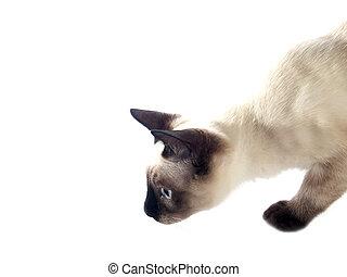 Siamese kitten hunting - Funny siam kitten hunting on white...