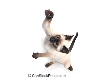 A siamese kitten jumping on white background