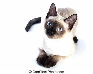 Siamese kitten laying - Funny siam kitten laying on white...