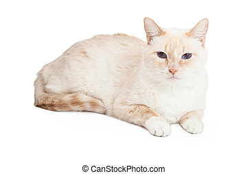 Siamese Mix Breed Cat Laying - A Siamese Mix Breed Cat...