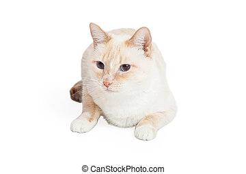 Siamese Mix Breed Cat Laying Looking Sideways - A Siamese...