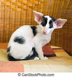 siamese, pequeno, pretas, branca, gatinho
