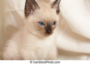 Siamese pussycat looking