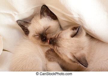 Siamese pussycats sleeping