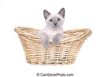 siamese, sfondo bianco, gattini