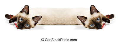 Siamese twins - Siamese cat isolated on the white background