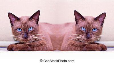 "Siamese cat ""twins"""
