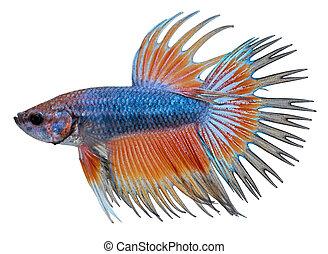siamese, vecht, fish., betta splendens