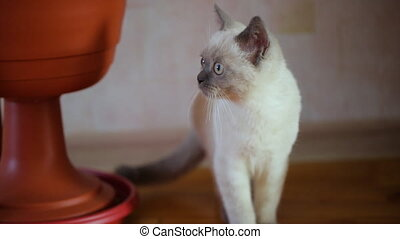 Siamese young cat at home
