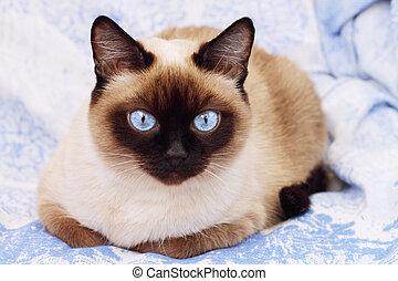 siamesische katze, auf, a, blauer hintergrund