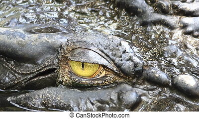 siamois, crocodile, oeil