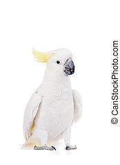 siarka-czubata kakadu, odizolowany, na białym