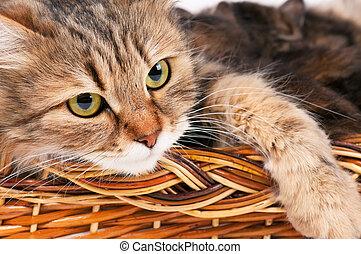 sibérien, chat
