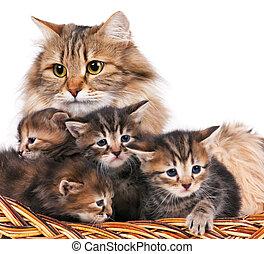 sibérien, chatons
