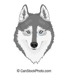 sibérien, chien, husky