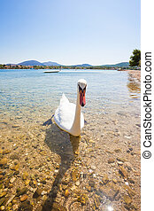sibenik-knin, cisne, -, el mirar joven, croacia, curioso,...