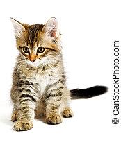 siberian , γατάκι