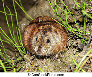 Siberian Brown Lemming is hiding in the grass