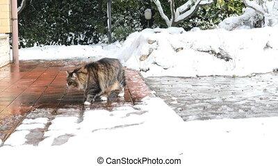 Siberian Cat In The Snow - Adult Siberian cat exploring...