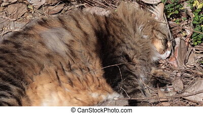 Siberian cat laying in the sun - Cute siberian cat laying in...