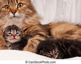 Siberian cat - Lovely siberian cat with newborn kitten...
