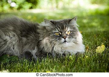 Siberian cat outdoors