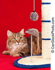 Siberian cat playing with scratching post over red ...
