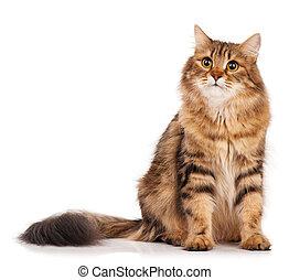 Siberian cat - Siberian beautiful adult cat over white...