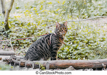 Siberian cat walking in the pine forest.
