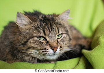 Siberian cat with mysterious eyes