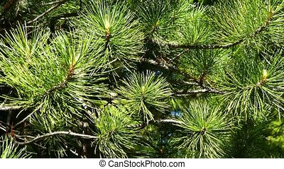 Siberian cedar branch closeup