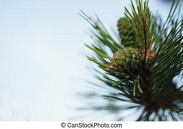 Siberian cedar branch with green cones