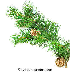 siberian cedar(siberian pine) branch with ripe cone isolated...