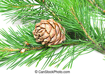 siberian cedar(siberian pine) branch with ripe cone isolated on white