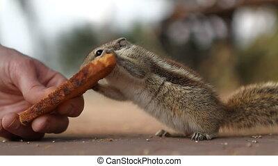 Siberian chipmunk, Euamias sibiricu