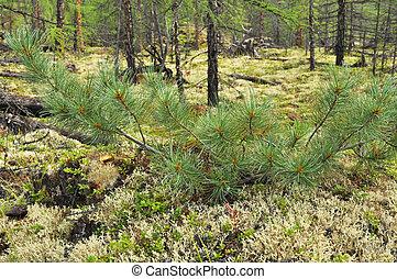 Siberian dwarf pine in Yakutia. Ridge Suntar-khayata, river ...