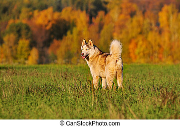 siberian huski standing in autumn field with beautiful...