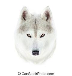 siberian husky, ansikte, isolerat, vita, bakgrund