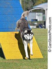 Siberian Husky at Dog Agility Trial - Siberian Husky on an...