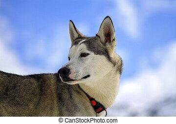 siberian husky, chien, portrait